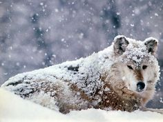 Gray Wolf in Snow Wallpaper Wolves Animals Wallpapers) – Wallpapers For Desktop Wolf Photos, Wolf Pictures, Funny Pictures, Nature Hd, Wild Nature, Le Husky, Wolf Paw Print, Animals Beautiful, Cute Animals
