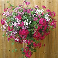 Our favourite hanging baskets and hanging basket flowers. Spring is here, which means it's time to plant your summer hanging baskets; from stylish baskets and readymade hanging baskets to the perfect plants to put in them, here are our picks. Geranium Planters, Geraniums Garden, Ivy Geraniums, Geranium Flower, Geranium Care, Geranium Dress, Wild Geranium, Geranium Oil, Plants For Hanging Baskets