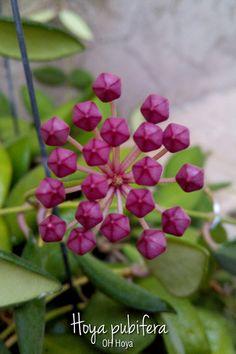 Hoya pubifrra