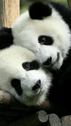 Panda bears are so cuuuute...but they are really disgusting and most of them carry an std. :[