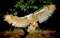 Vogel foto fliegende eule hintergrund