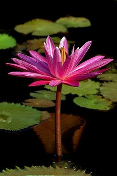 Water Lily _ Ninfea - (Nymphaea)