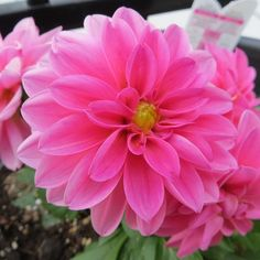 Small variety Dahlias, I planted last weekend.