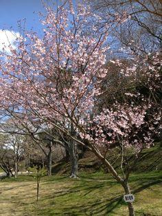 Early Sakura in Hamamatsu, Shizuoka