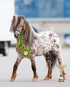 appaloosa show pony