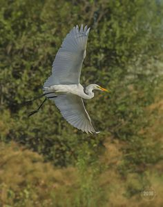 In flight Egret Limited Edition 2016 Print from Louis Ruth Photography