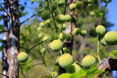 지난해에 무성하게 열매를 맺었던 매실나무..       올해도 좋은결실을 기대해 본다.