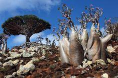 socotra-tree