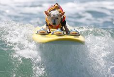 Monday, Sept. 29: 6th Annual Surf Dog    Surfer Dog Abbie Girl rides a wave in the Large division during the 6th Annual Surf Dog competition at Huntington Beach, California