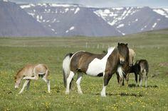 typical scene in iceland - icelandic horses