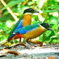 Blue-winged Pitta, Pitta moluccensis: Malaysia, Southeast Asia, Australia