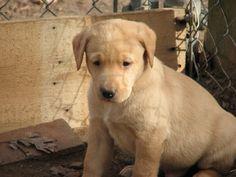 Adorable Labrador retriever in North Carolina, Do you love his lil face if so REPIN
