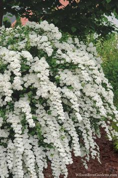 Prized for its stunning spring floral display and ease of care and longevity, heralding the arrival of spring, Van Houtte is a Bridal Wreath Spirea that. White Plants, Large Plants, Bridal Wreath Spirea, Landscape Design, Garden Design, Garden Shrubs, Bush Garden, White Gardens, Dream Garden