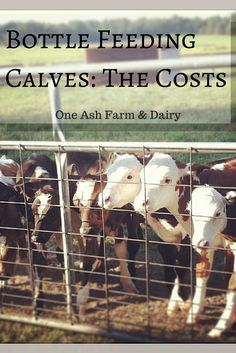 Think you might want to raise a calf? Here's a breakdown on how much it will cost: