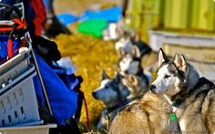 Musher Hank DeBruin spends time with his dogs in Nome, in this Tom Pauser photo.