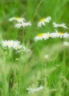 Fine Art Photography White Daisies Dreamy by KarenWebbPhotography