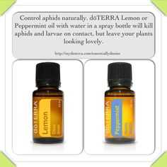 DIY aphid control. A few drops of dōTERRA Lemon or Peppermint essential oils in a spray bottle will kill aphids and larvae on contact, but leave your plants looking lovely.  http://mydoterra.com/essentiallydenise  https://www.facebook.com/dkdoterra