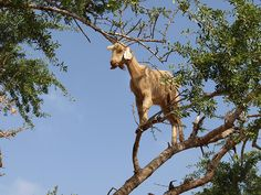 Goats up an argan tree, Morocco -    goats climbing an Argan tree, near Agadir, Morocco,...