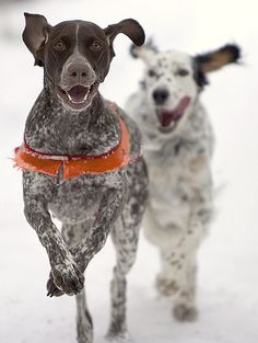dogs. Pointer