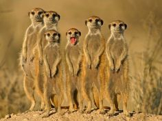 Meerkat Group Men T-Shirt Tee S M L Xl 2Xl 3Xl