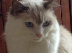 Abby – Ragdoll of the Week http://www.floppycats.com/abby-ragdoll-of-the-week.html