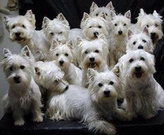 I don't know where this is with all these Westies but it's absolute Heaven to me ❤