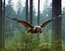 ağaçlar, orman, yırtıcı, uçan