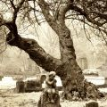 Angel And Tree Elmwood A