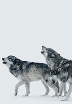 "Wolves:  ""Respecting The Leader of The Pack."""
