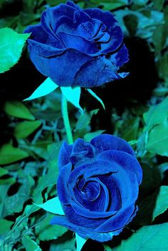 this blue rose looks made out of velvet <3