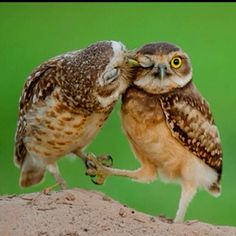 Holding Hands and Kisses #Owls…….OH!!!   THEY MUST BE LOVE BIRDS……..NO, NO, MADAM ---- THEY'RE LOVING OWLS…….ccp