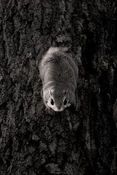 Japanese dwarf flying squirrel gazes at me as a Ninja. Hiroki Inoue