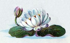 Vintage Clip Art - Water Lily - The Graphics Fairy