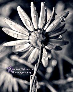 black and white photo of a flower  www.facebook.com/amandawaddlephoto3