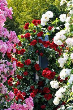 Rose garden, Climbing Roses, Love Rose, Garden Design, My Flower, Pretty Flowers, Beautiful Roses, Beautiful Gardens, Parfum Rose, Planting Flowers