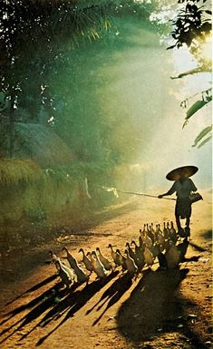 Goose herder, Indonesia.