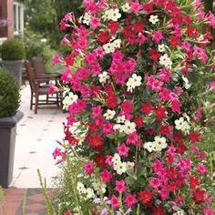 Die 38 Besten Bilder Von Garten Dipladenia Garten Plants Und