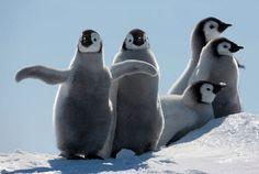 Awh c: ! #penguin #animallovers #animals