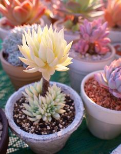 Save your succulents: photo Succulent, Succulent indoor, Succulent garden, Succulent diy, lithops Su Succulents In Containers, Cacti And Succulents, Planting Succulents, Cactus Plants, Garden Plants, Planting Flowers, Succulent Care, Succulent Gardening, Succulent Terrarium