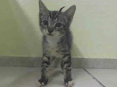TO BE DESTROYED 7/8/14 ** BABY ALERT! ONLY 7 WEEKS OLD!! ** Manhattan Center  My name is VICTOR. My Animal ID # is A1005448. I am a male brn tabby and white domestic sh mix. The shelter thinks I am about 7 WEEKS old.  I came in the shelter as a STRAY on 07/02/2014 from NY 10460,  I came in with Group/Litter #K14-184492.