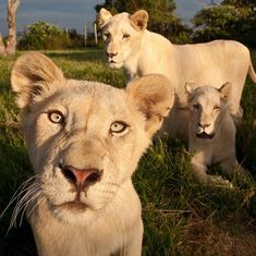 family of lions Cute Creatures, Beautiful Creatures, Animals Beautiful, Animals And Pets, Baby Animals, Cute Little Animals, Animal Kingdom, Dog Cat, Puppies