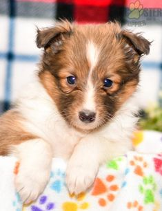 #ShetlandSheepdog #Charming #PinterestPuppies #PuppiesOfPinterest #Puppy #Puppies #Pups #Pup #Funloving #Sweet #PuppyLove #Cute #Cuddly #Adorable #ForTheLoveOfADog #MansBestFriend #Animals #Dog #Pet #Pets #ChildrenFriendly #PuppyandChildren #ChildandPuppy #LancasterPuppies www.LancasterPuppies.com Puppies For Sale, Dogs And Puppies, Sheep Dog Puppy, Shetland Sheepdog Puppies, Lancaster Puppies, Animals Dog, Sheltie, Rottweiler, Mans Best Friend