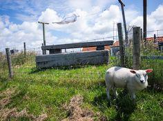 #hargen #laundry #noordholland #netherlands #wind #sheep #dike #polder #schoorl #fromthepolder