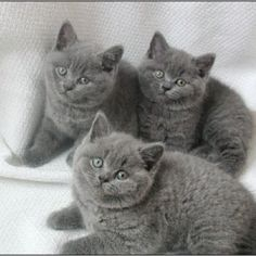 gray cats are so pretty  I think if and when something happens to my kitties, I might get one or two of these!
