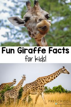 Giraffes are such amazing creatures! Kids are sure to be captivated by this list of fun giraffe facts. Giraffe Facts For Kids, Fun Facts About Giraffes, Animal Facts For Kids, Baby Giraffes, Baby Animals, Types Of Giraffes, Giraffe Family, Habitats