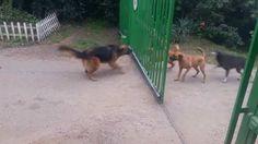Attualià: Quattro #cani #divisi da un cancello cosa accade quando si apre - VIDEO (link: http://ift.tt/2lxh5jC )