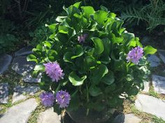 Potted water hyacinth centerpiece in backyard.