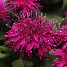 Celebrate the #YearoftheMonarda with one of the new cultivars Balmy™ Monarda - Available in numerous colors, these monardas have relatively large flowers on a fully compact plant. Balmy comes in at just 10-12 in. with exceptional mildew resistance and deep green foliage. They are dwarf and mounded, so bring new uses to the landscape. These plants are hardy zone 4a - 9b. Butterfly Garden Plants, Cottage Garden Plants, Garden Shrubs, Herbaceous Perennials, Flowers Perennials, Large Flowers, Purple Flowers, Butterfly Flowers, Butterflies
