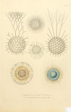 Die Radiolarien (Rhizopoda radiaria) :. Berlin :G. Reimer,1862-1888.. biodiversitylibrary.org/page/10687523