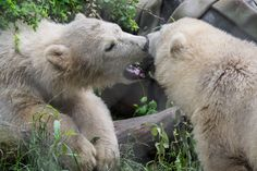 Orphaned polar bear cub Kali gets a playmate